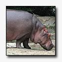 Nijlpaard Tanja uit Artis overleden