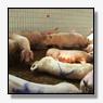 Thieme: verbod op diertransporten bij temperaturen boven 28 graden